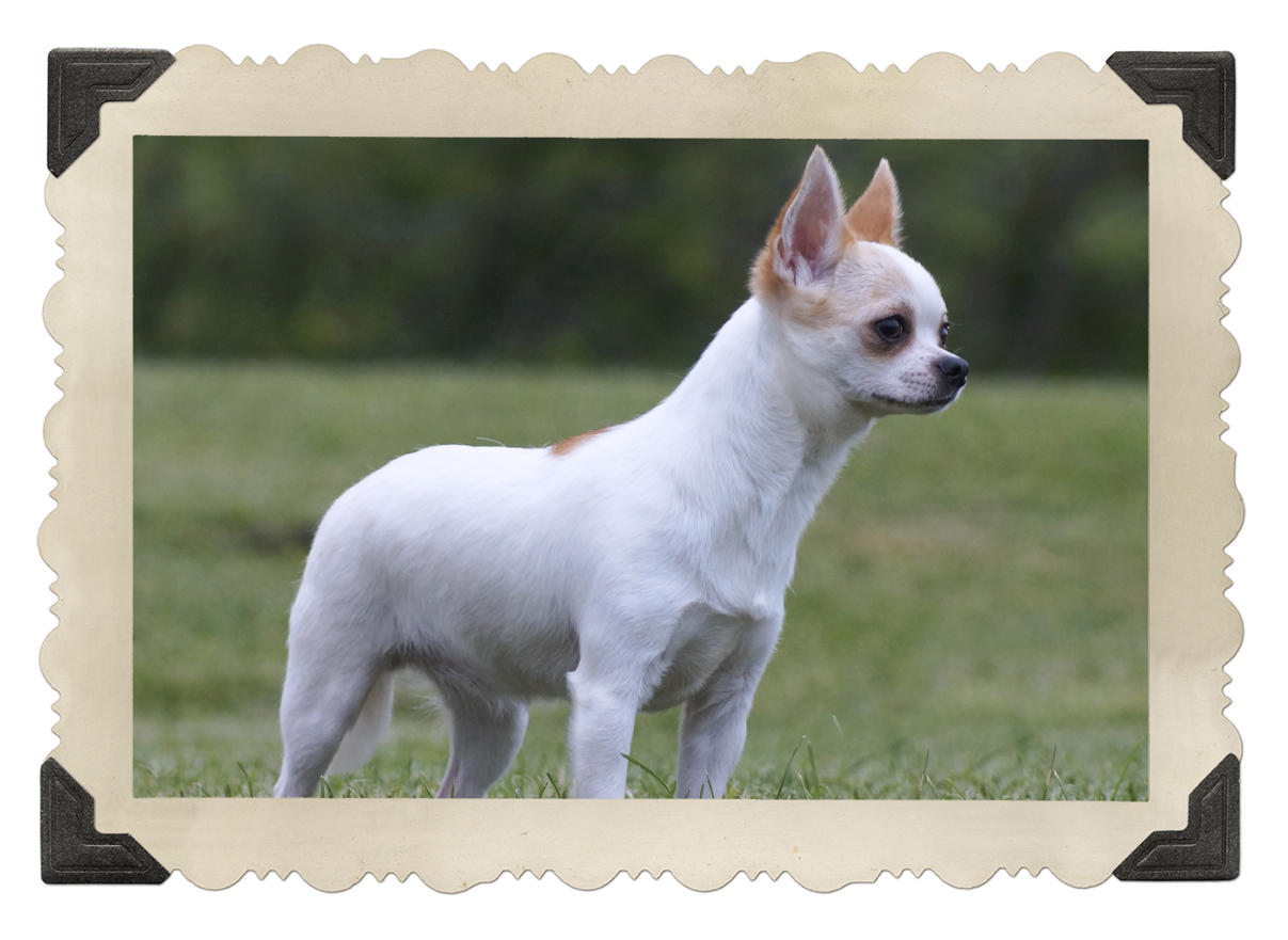 chihuahua singles The latest tweets from single chihuahua cap (@singlechih): alguien sabe cual power es.